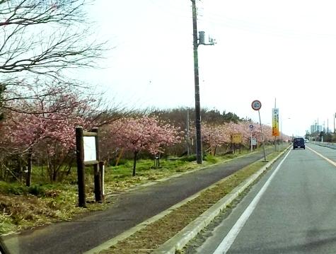 20170226 白子桜 009-3