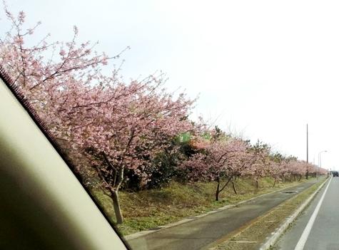 20170226 白子桜 010-3