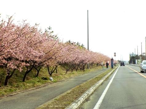 20170226 白子桜 012-2