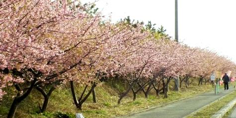 20170226 白子桜 012-3