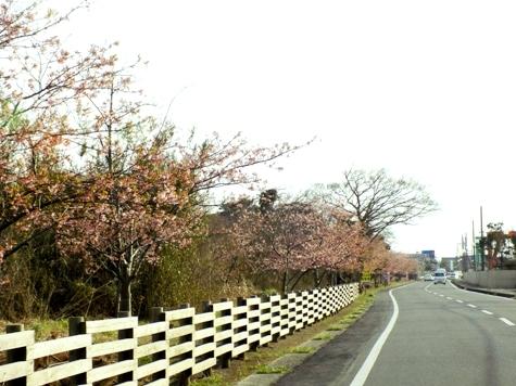 20170226 白子桜 034-2