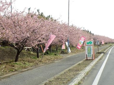 20170226 白子桜 015-2