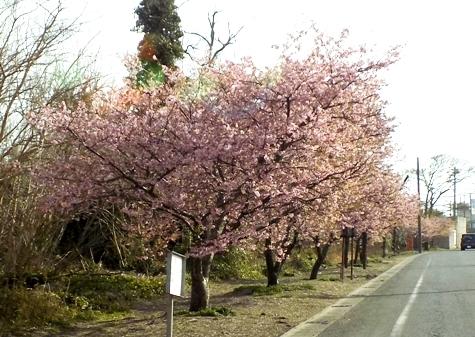20170226 白子桜 022-2