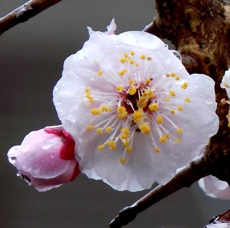 201703021 桜とこぶし 028-9