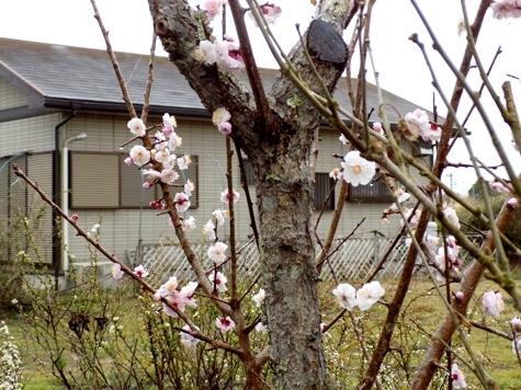 201703021 桜とこぶし 026-2