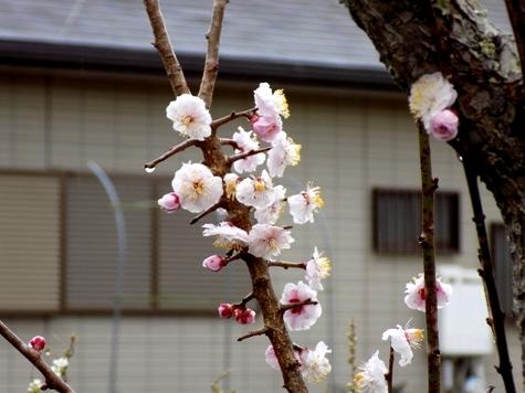 201703021 桜とこぶし 027-2