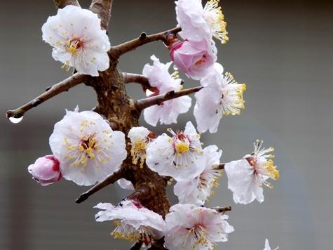 201703021 桜とこぶし 028-2