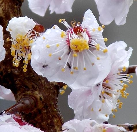 201703021 桜とこぶし 028-3