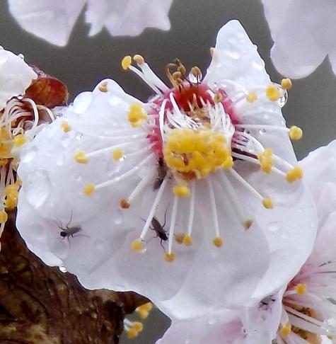 201703021 桜とこぶし 028-4