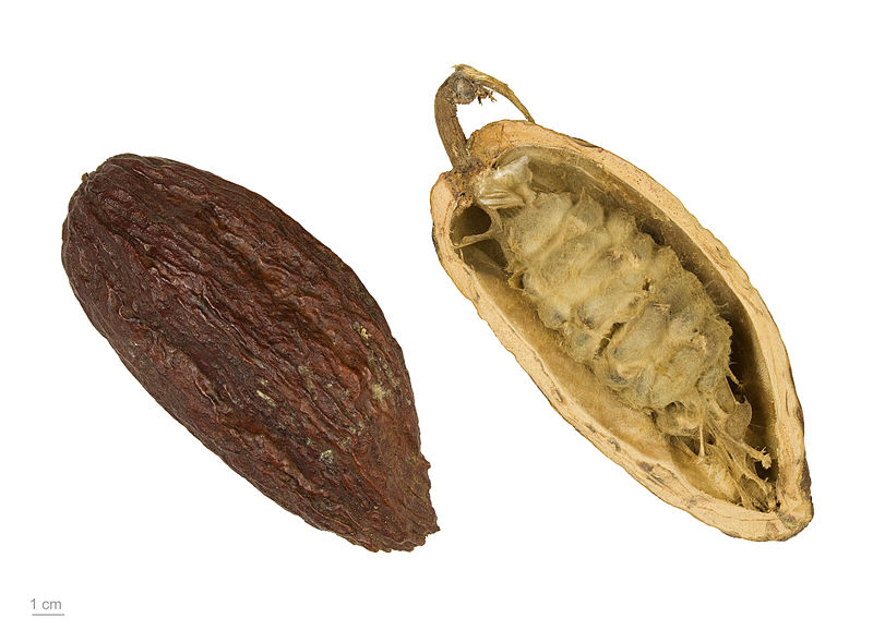 800px-Theobroma_cacao_MHNT_BOT_2004_0_204.jpg
