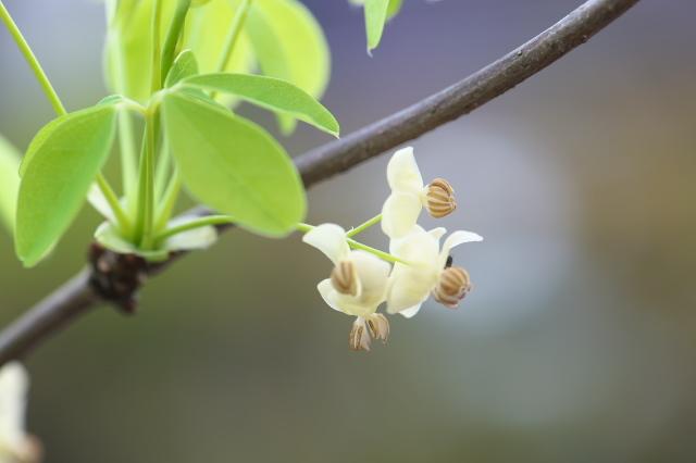 バナナアケビの開花-05