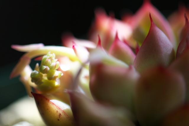 Echeveria pulidonis-03