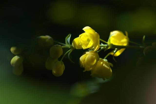 ヒイラギナンテンの花-01