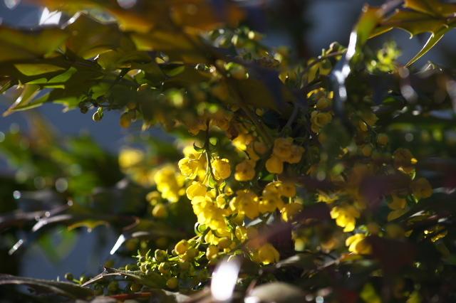 ヒイラギナンテンの花-02