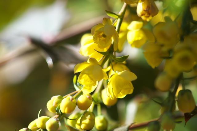 ヒイラギナンテンの花-03