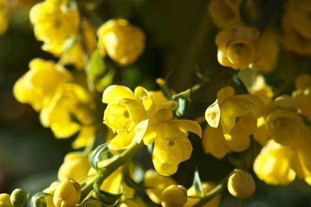 ヒイラギナンテンの花-04