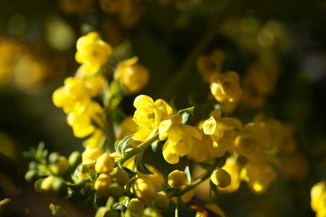 ヒイラギナンテンの花-05