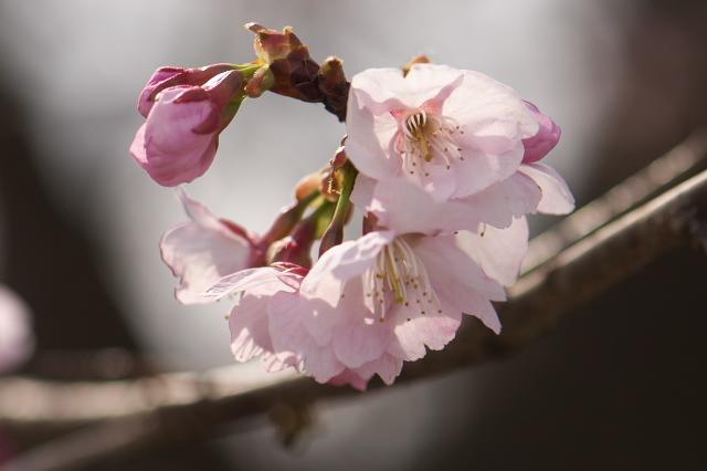 寒桜の開花-01