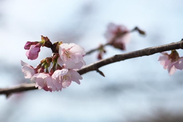 寒桜の開花-02