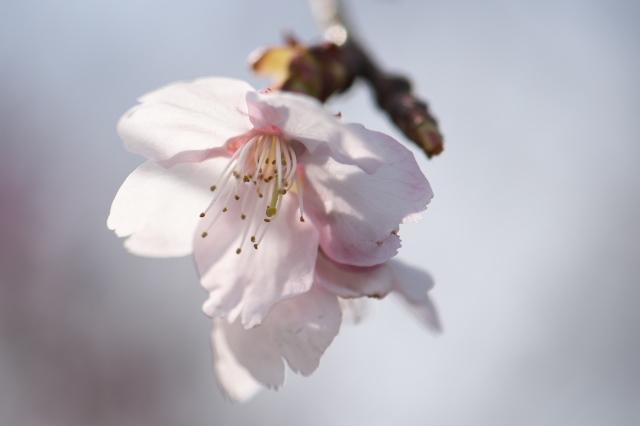 寒桜の開花-03