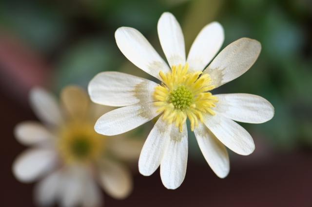 白花ヒメリュウキンカ-00