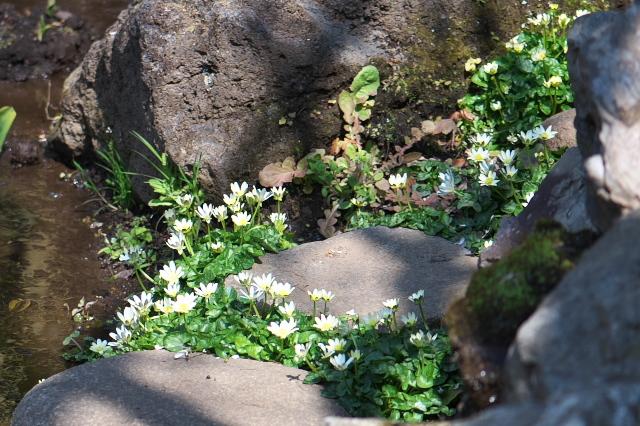 白花ヒメリュウキンカ-02