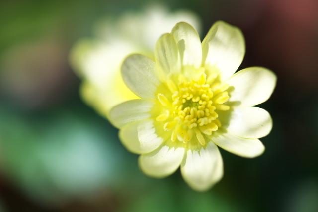 ヒメリュウキンカの白花-02