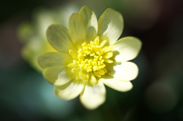 ヒメリュウキンカの白花-01