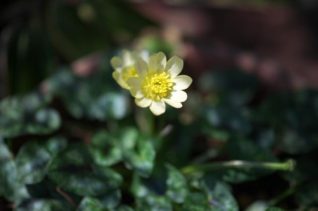 ヒメリュウキンカの白花-03