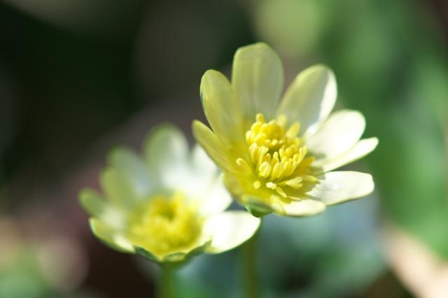 ヒメリュウキンカの白花-04