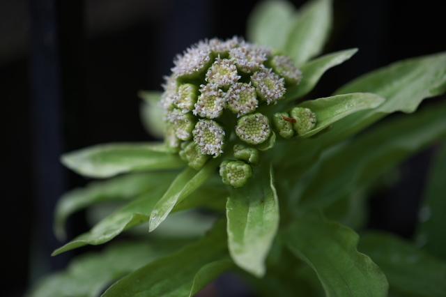 フキノトウの小花-04