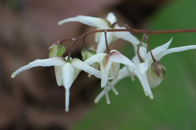 白花のイカリソウ-03