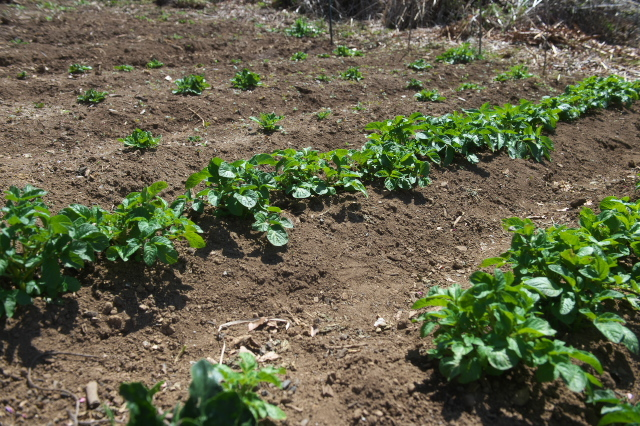 ジャガイモの芽吹き