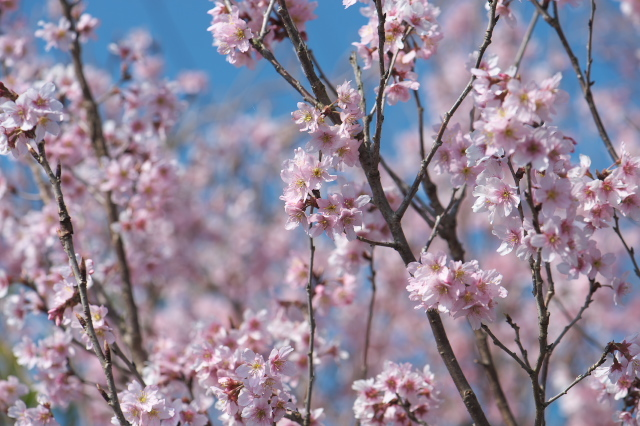 切り花用のサクラ-01