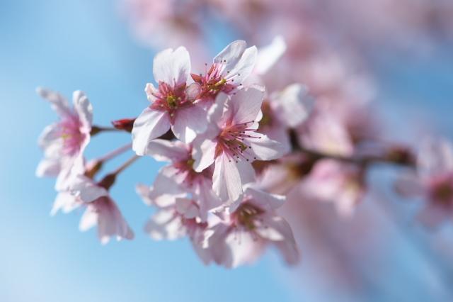 切り花用のサクラ-02