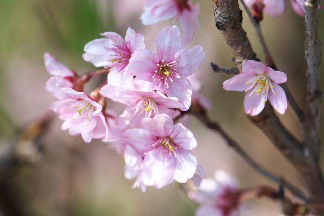 切り花用のサクラ-03