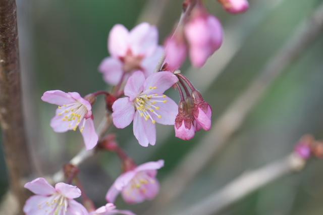 切り花用のサクラ-04