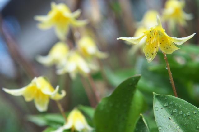 うつむき加減の黄花カタクリ-03