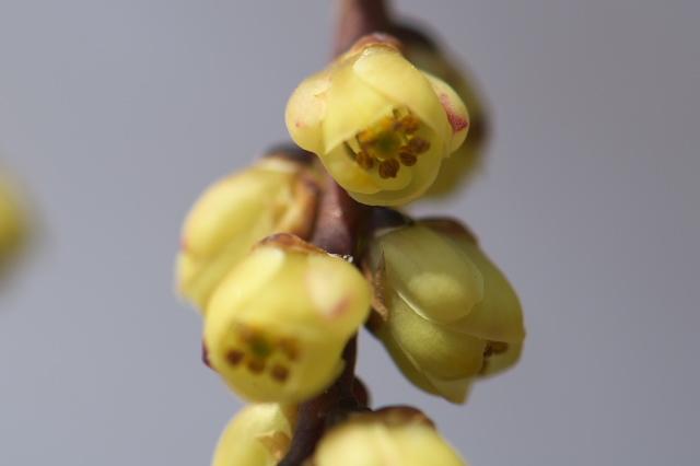 キブシの花-03