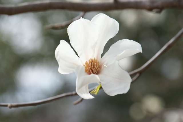 コブシの花-03