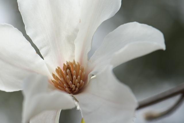 コブシの花-04