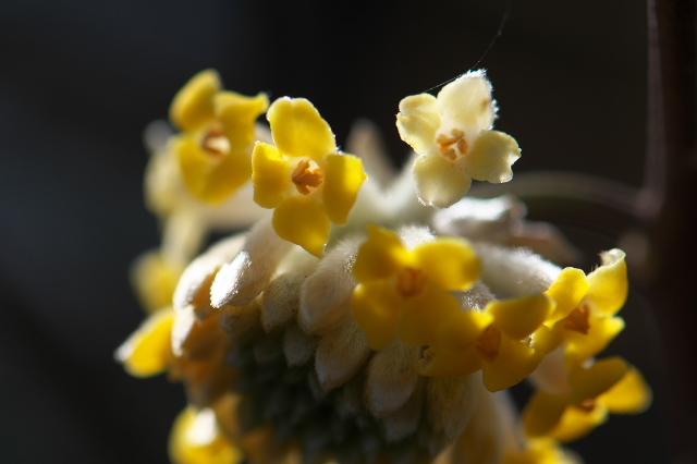 ミツマタの花-06