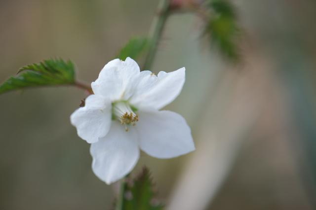 モミジ木イチゴの花-05