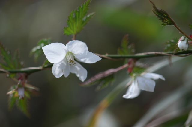 モミジ木イチゴの花-04