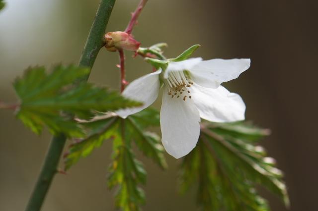 モミジ木イチゴの花-03