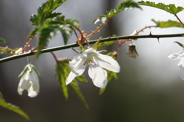 モミジ木イチゴの花-02