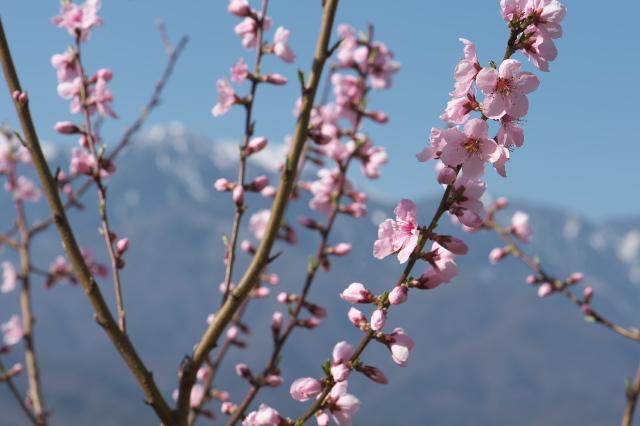 種から育てた新府の桃と花桃-02