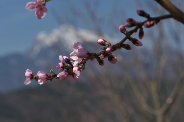 種から育てた新府の桃と花桃-03