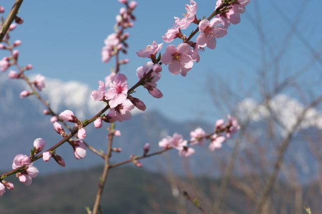 種から育てた新府の桃と花桃-01