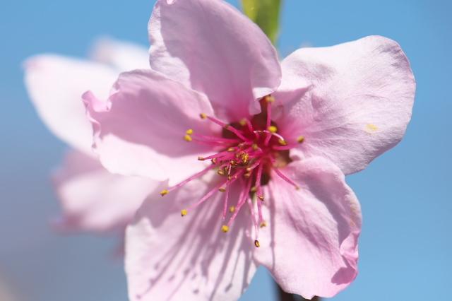 種から育てた新府の桃と花桃-04